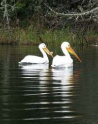 Friendly Pelicans on Crossroute Lake