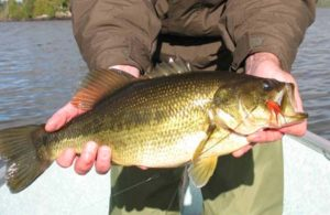 Fly in Largemouth