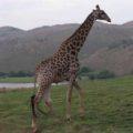 Lots of Giraffes, too