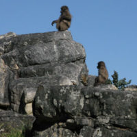 Baboons sitting on boulders near the river